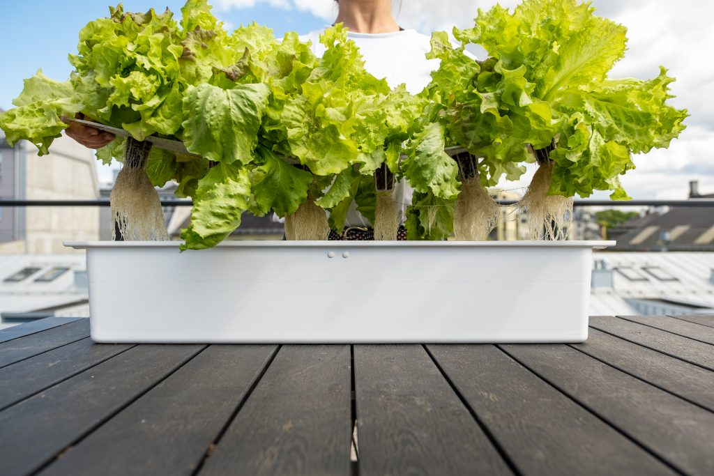 Kvinne holder en hvit Harvy dyrkningskasse med 6 planter med salat. Hun driver med hydroponisk dyrkning.